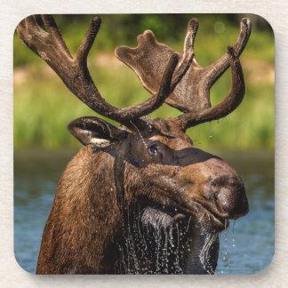 Bull moose feeding in Glacier National Park Coaster
