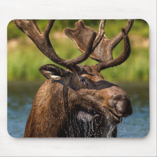 Bull moose feeding in Glacier National Park Mouse Mat