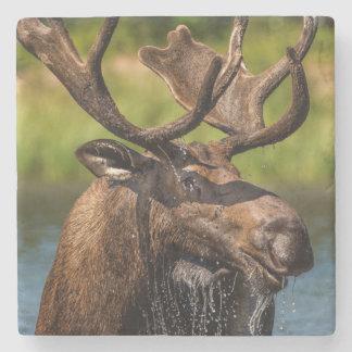 Bull moose feeding in Glacier National Park Stone Coaster