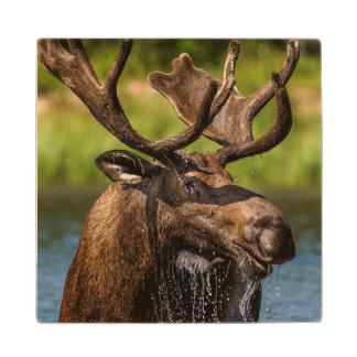 Bull moose feeding in Glacier National Park Wood Coaster
