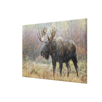 Bull moose in snowstorm with aspen trees in canvas print
