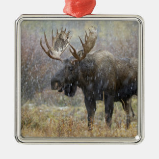 Bull moose in snowstorm with aspen trees in christmas ornament