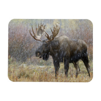 Bull moose in snowstorm with aspen trees in magnet