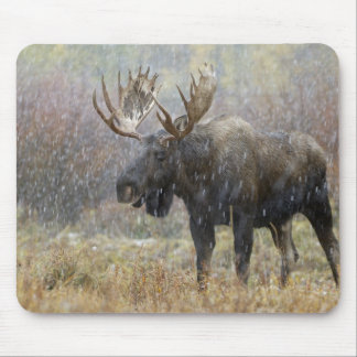 Bull moose in snowstorm with aspen trees in mouse mat