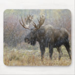 Bull moose in snowstorm with aspen trees in mouse pad