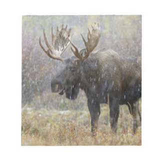 Bull moose in snowstorm with aspen trees in notepad