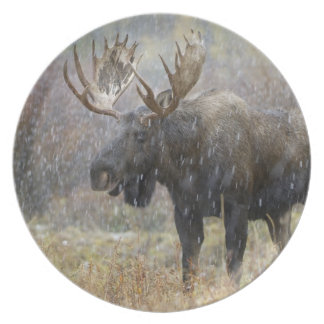 Bull moose in snowstorm with aspen trees in plate