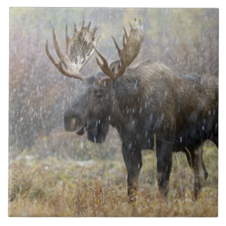 Bull moose in snowstorm with aspen trees in tile