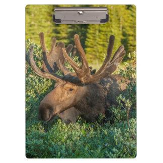Bull moose in velvet, Colorado Clipboard