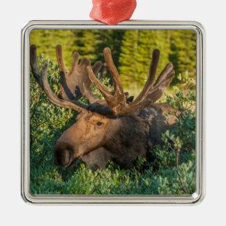 Bull moose in velvet, Colorado Silver-Colored Square Decoration