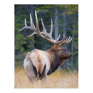 Bull Rocky Mountain Elk Postcard