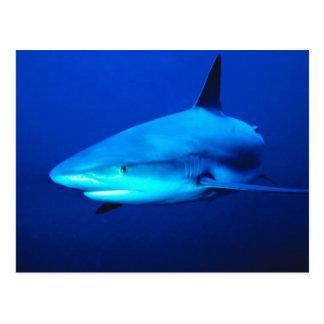 Bull Shark Postcard