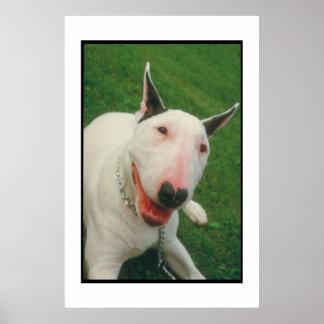 Bull Terrier Smiling Poster