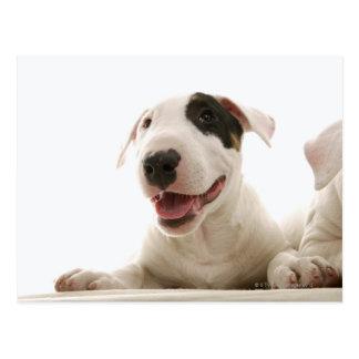 Bull Terriers Postcard