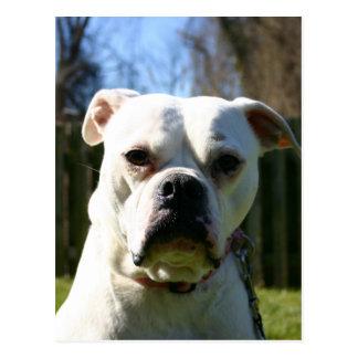 Bulldog Face Postcard
