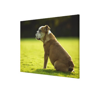 Bulldog in field canvas print