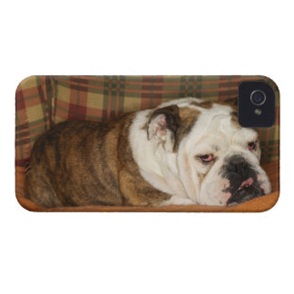 bulldog lying on a sofa iPhone 4 case