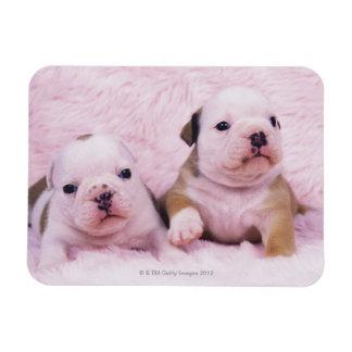 Bulldog; often called the English Bulldog. Is a Rectangular Photo Magnet