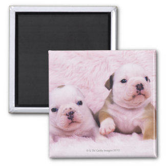 Bulldog; often called the English Bulldog. Is a Square Magnet
