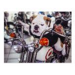 Bulldog on Motorcycle