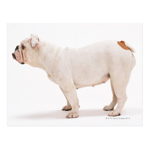 Bulldog Post Card