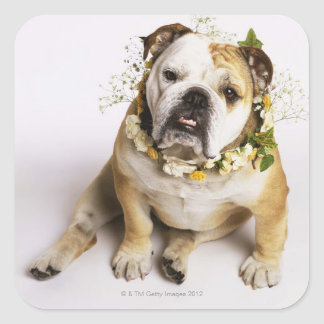 Bulldog with flower collar square stickers