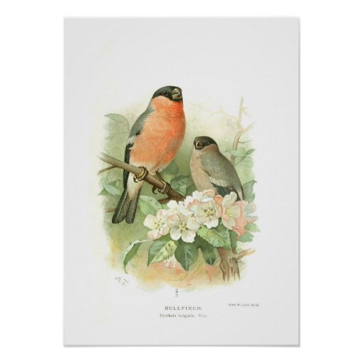 Bullfinch Poster