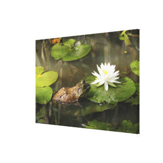 Bullfrog in Lily Pond Canvas Print