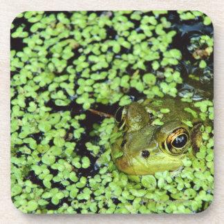 Bullfrog (Pyxicephalus adspersus) in duckweed Drink Coaster