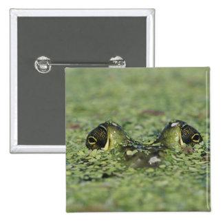 Bullfrog, Rana catesbeiana, adult in duckweed 15 Cm Square Badge