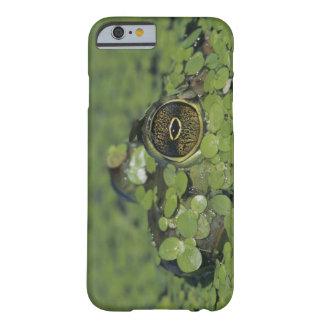 Bullfrog, Rana catesbeiana, adult in duckweed Barely There iPhone 6 Case