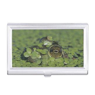 Bullfrog, Rana catesbeiana, adult in duckweed Business Card Holder