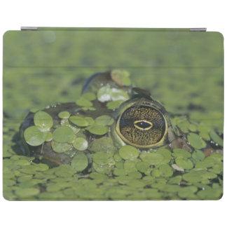 Bullfrog, Rana catesbeiana, adult in duckweed iPad Cover