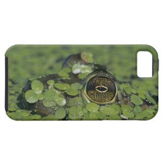 Bullfrog, Rana catesbeiana, adult in duckweed iPhone 5 Case