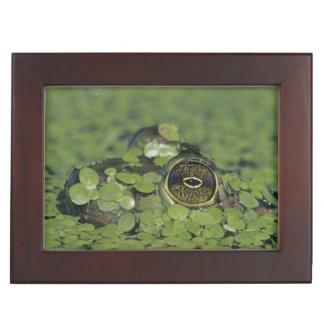Bullfrog, Rana catesbeiana, adult in duckweed Keepsake Box