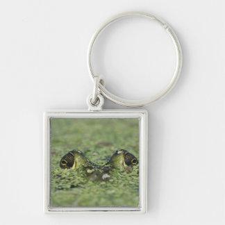 Bullfrog, Rana catesbeiana, adult in duckweed Keychains