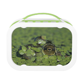 Bullfrog, Rana catesbeiana, adult in duckweed Lunch Box