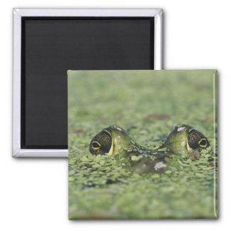 Bullfrog, Rana catesbeiana, adult in duckweed Magnet