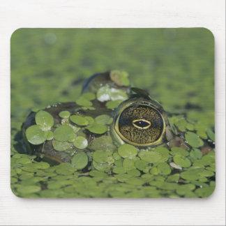 Bullfrog, Rana catesbeiana, adult in duckweed Mouse Mat