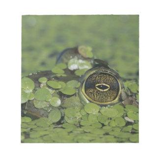 Bullfrog, Rana catesbeiana, adult in duckweed Notepad