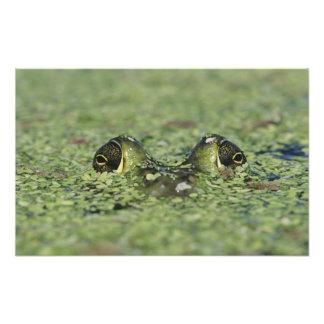 Bullfrog Rana catesbeiana adult in duckweed Photo