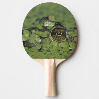 Bullfrog, Rana catesbeiana, adult in duckweed Ping Pong Paddle