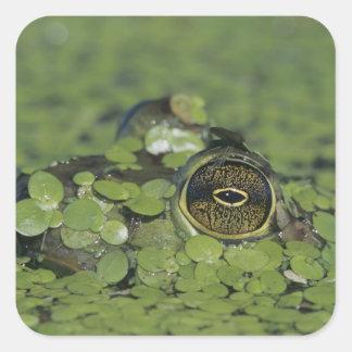 Bullfrog Rana catesbeiana adult in duckweed Square Sticker