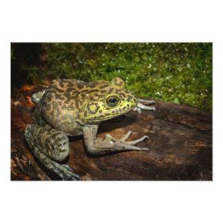 Bullfrog, Rana catesbeiana Photographic Print