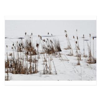 Bulrushes in frozen lake postcard