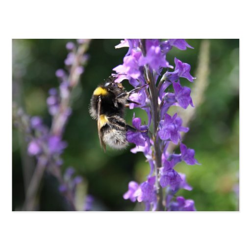 Bumble Bee Collecting Pollen Post Card Post Cards
