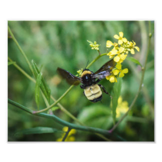 Bumble Bee in Flight Photo Print