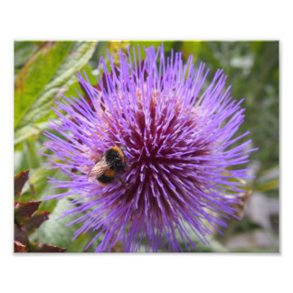 Bumble Bee on a Cardoon Flower Photographic Print