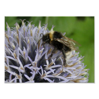 Bumble Bee on Alium Flower Poster