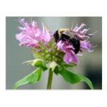 Bumble Bee on Bee Balm Flower Postcard 2